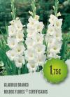 Gladiolo Branco