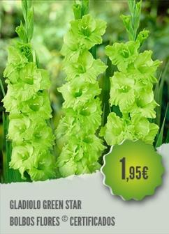 Gladiolo Green Star