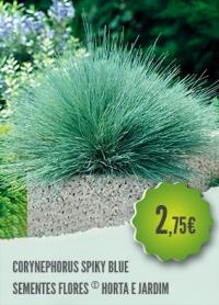 Corynephorus Spiky Blue
