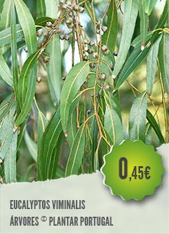 Eucalyptus Viminalis