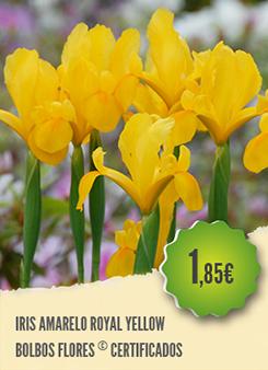 Iris Amarelo