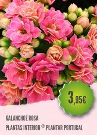 Kalanchoe Rosa