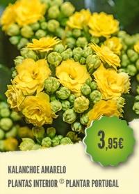 Kalanchoe Amarelo