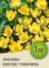Crocus Amarelo