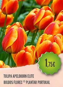 Tulipa Apeldoorn Elite