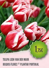 Tulipa Leen Van Der Mark