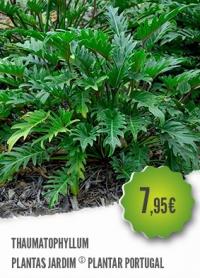 Thaumatophyllum Bipinnatifidum