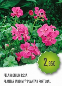 Pelargonium Rosa