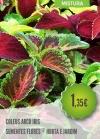 Coleus Arco Iris