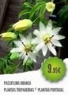 Passiflora Branca