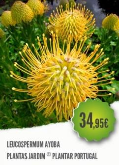 Leucospermum Ayoba