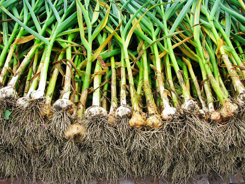 Plantar alhos plantar portugal for Aglio pianta